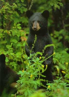 Black bear standing.