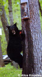 Bear in tree.