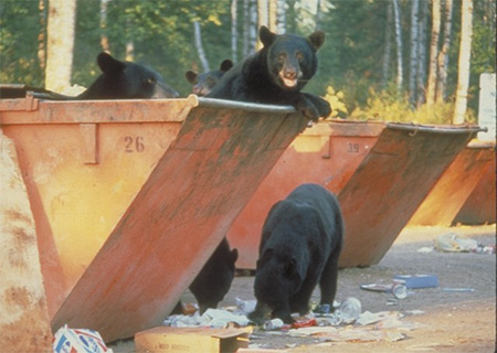 Five black bears in and around dumpsters, looking for food.
