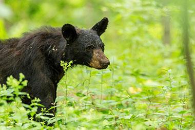 Juvenile black bear walking through a forest.