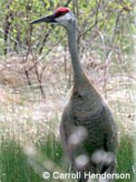 Sandhill crane in brushy area.