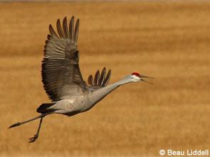 Sandhill crane in flight.