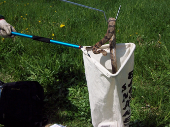 timber rattlesnake being safely bagged.