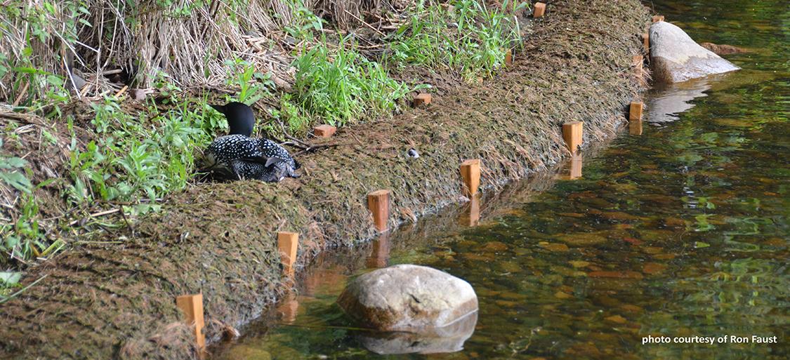 image of loon on restored shoreline