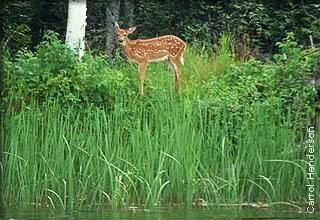 fawn at lake edge