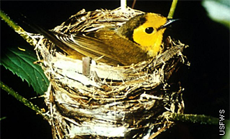 warbler on nest