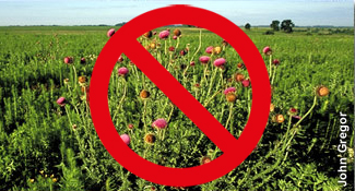 invasive musk thistle