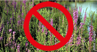 invasive purple loosestrife