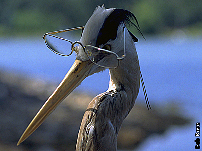 old Mr. Heron looking at you through his spectacles