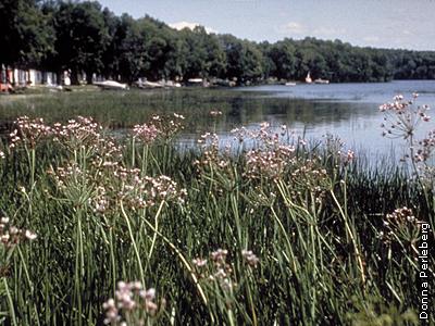 lake with flowering rush