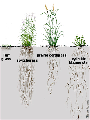 illustration comparing root depth of lawn/turf (shallow) and native species (deep)