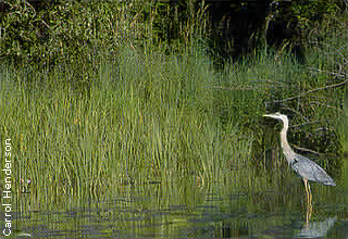 heron wading in shoreline vegetation
