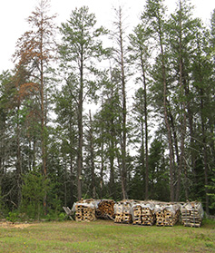 Fresh firewood by pine tree infested with pine engaver beetles.