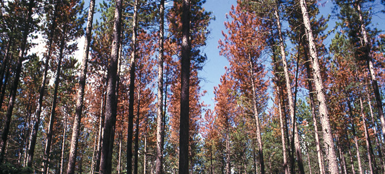 Pines with pine bark beetle infestation