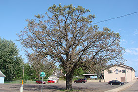 bur oak showing sign of BOB