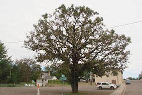 same bur oak showing recovery from BOB