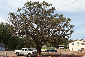 same bur oak healthy