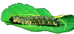 Forest tent caterpillar on aspen leaf