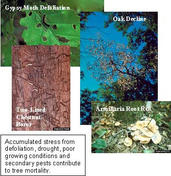 Photo collage showing gypsy moth defoliation.