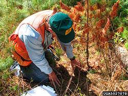 Hd on pine seedlings