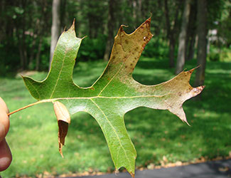 Fallen leaf showing oak wilt symptoms.