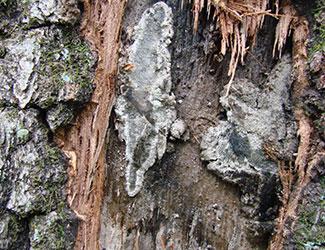 Oak wilt pressure pads.