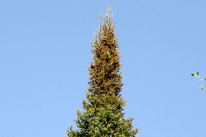 A balsam fir with a scorched top in late July from spruce budworm feeding