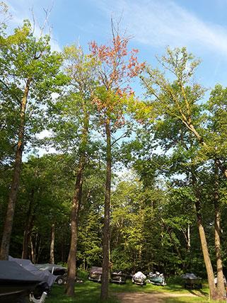 oak tree with orange leaves crown