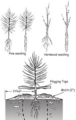 Drawing showing the steps of planting a tree seeding