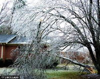photo: Ice storm damage to Silver Maple