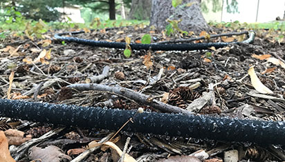black soaker hose under pine tree with water dripping from them.