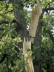 Bur oak tree with large broken limb