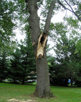 photo: Basswood with large limb missing.