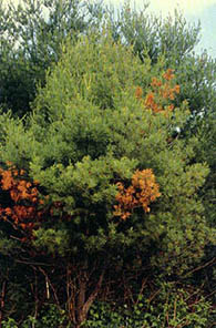 Blister rust turns needles orange, indicating branch and eventually tree death.