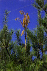 Weevils infect white pine and kill the leader (the top of the tree's main trunk).