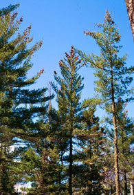 photograph of White Pine from
