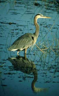 Great blue heron in a wetland.