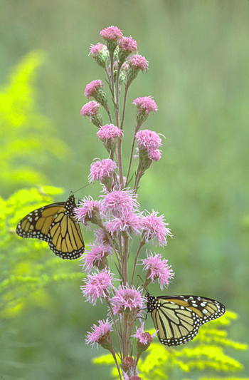 monarch butterflies on meadow blazing star