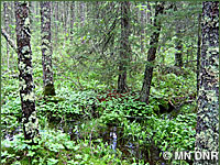Photo of lowland coniferous forest.