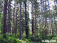 Photo of upland coniferous forest.