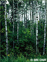 Photo of upland deciduous forest, aspen.