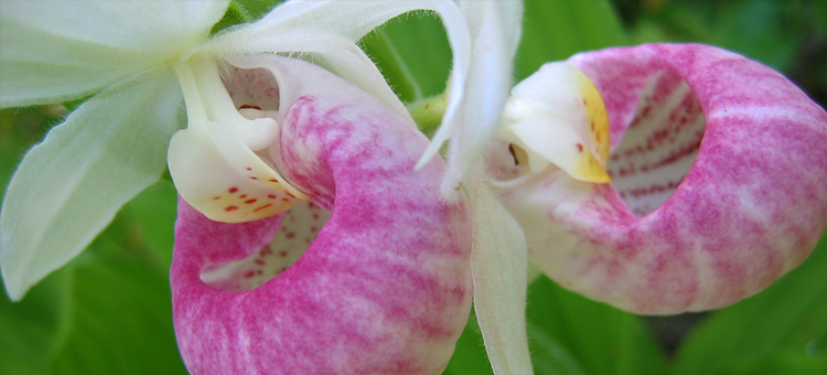 Showy lady's-slipper, Visit the Wild Places