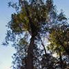 Hemlock fir tree