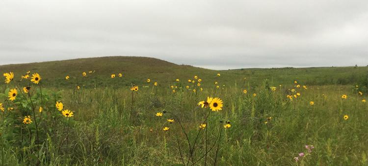 Sunflowers at Blanket Flower Prairie