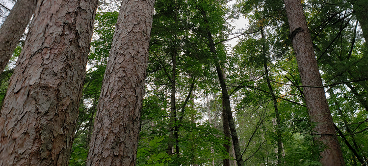 Old growth pine at Itasca Wilderness Sanctuary