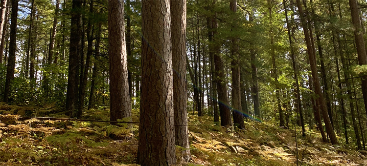 Old growth pines at Lost 40
