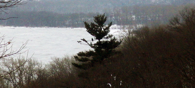 Eagle in white pine at Pine Bend Bluffs