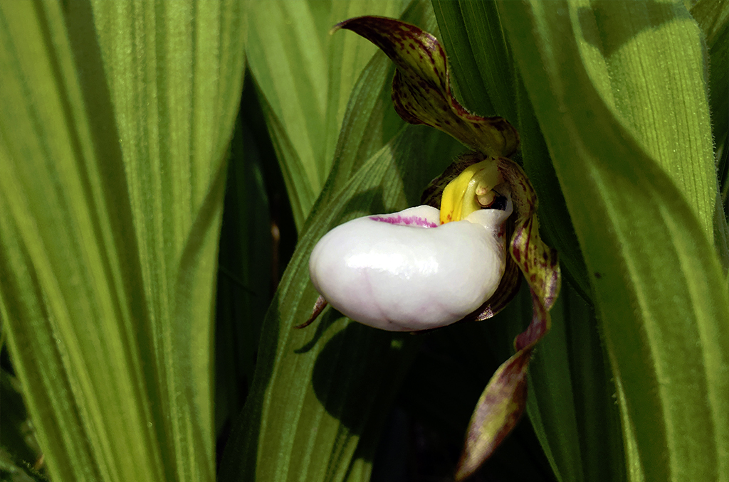 Small white lady's-slipper