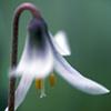 Dwart trout lily