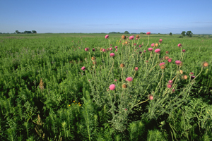 Prairie grassland with invasive bull thistle in the foreground